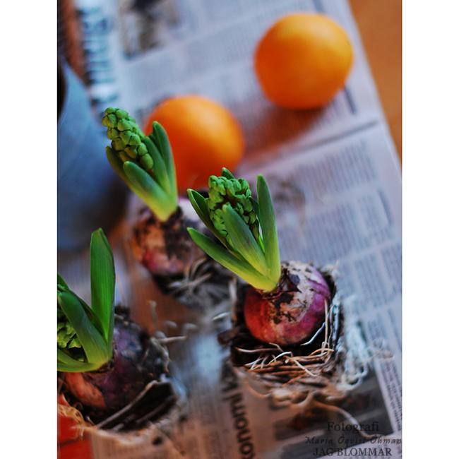 Hyacint (5)aW
